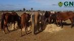 GNR apreende mais de 100 cavalos em explorações pecuárias do distrito de Beja
