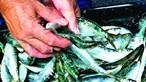 Peixe nas lotas algarvias rendeu quase 49 milhões de euros